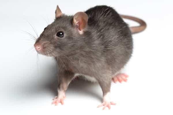 التخلص من الفئران والفلفل الاسود
