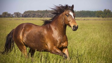 Photo of تفسير رؤية الحصان في المنام للعزباء ابن سيرين النابلسي
