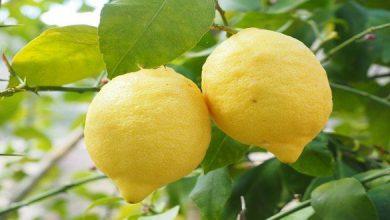 طريقة حفظ الليمون في الثلاجة